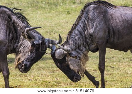 Two Battling Wildebeests About To Smash Their Heads Against Each Other Seen From A Side View.