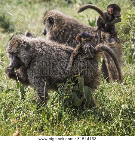 Baboon Mother Walking Through The Savannah With Its Baby On The Back,tarangire National Park - Wildl