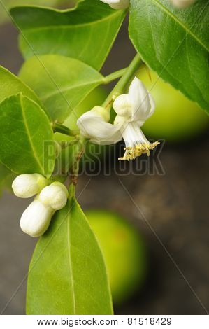 Lime With Lime Blossom