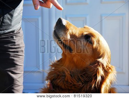 Guilty Golden Retriever Dog Portrait