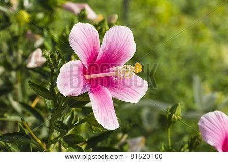 Chinese hibiscus, China rose, Hawaiian hibiscus or shoe flower