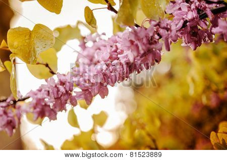 Branch Of Acacia Pink Vibrant Flowers