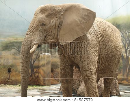 Elephant in the inner enclosure