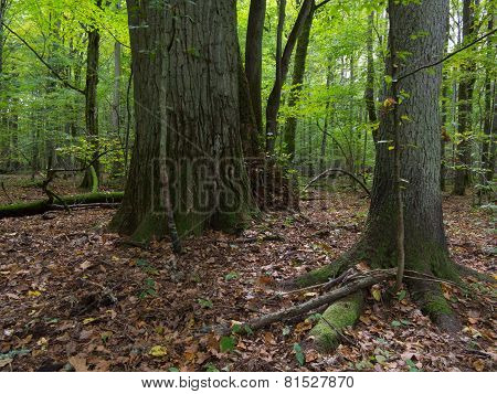 Old Oak Tree In Autumnal Forest