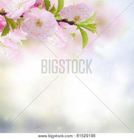 Cherry Flowers In Green Garden