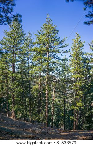 Tall Green Pines