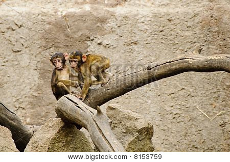 Baby Macaques Playing