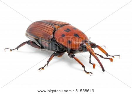 female brown palm weevil snout beetle, Rhynchophorus ferrugineus