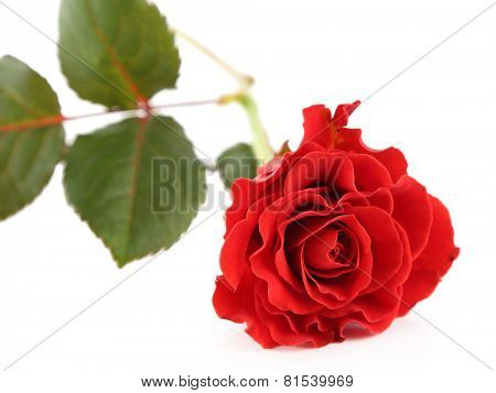 Single wonderful red rose isolated on white