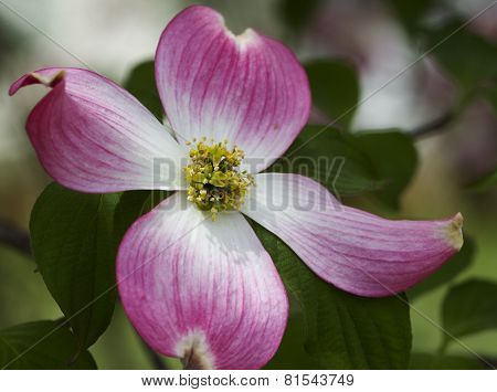 Spring Blooming Pink Dogwood Bloom