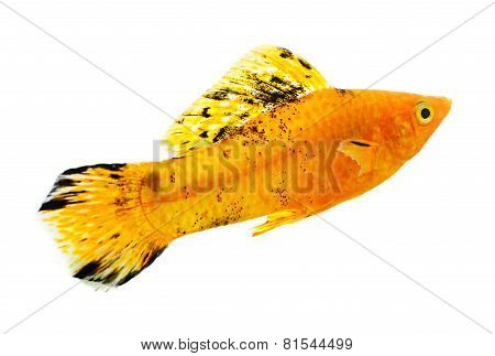 Molly Fish Isolated On White Background