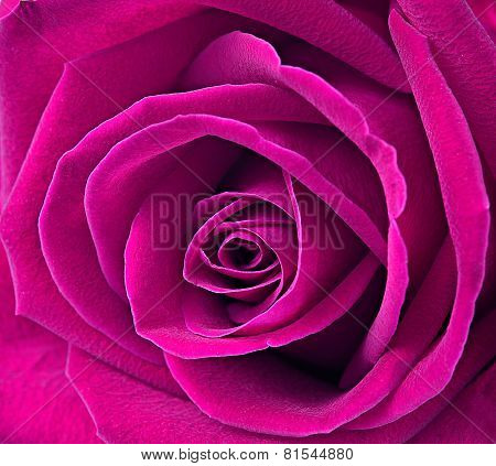 Close Up Macro Of A Pink Rose