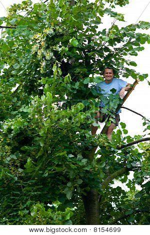 Man Climbed In A Tilia Tree