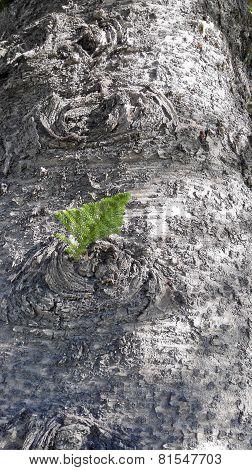 Norfolk Island Pine Tree Bark