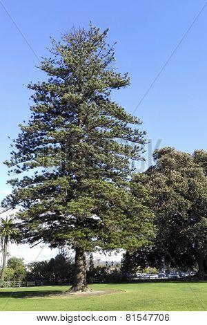 Century Old Norfolk Island Pine
