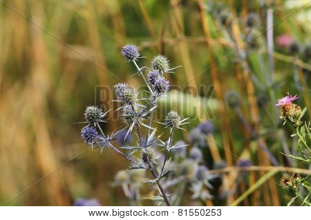 Flat Sea Holly On A Meadow