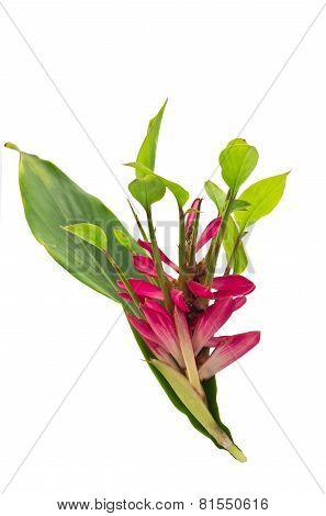 Alpinia Purpurata Flowers