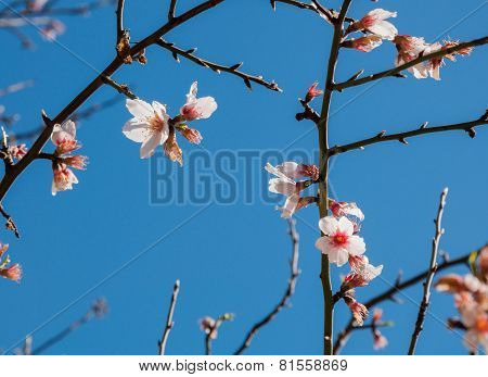 Almond blossom on naked branches and blue sky