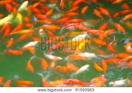 Cyprinus Carpio Koi Fishes In Water
