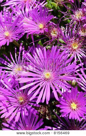 Hardy Purple Ice Plant, Delosperma Cooperi