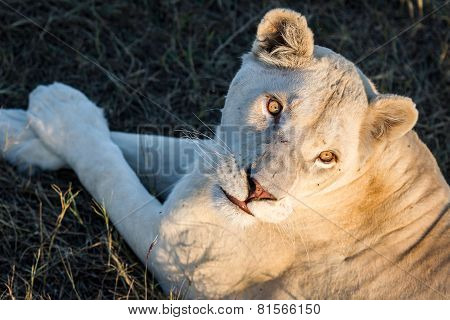 White lioness with big eyes under the setting sun