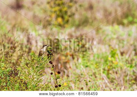 Brown Shrike Male