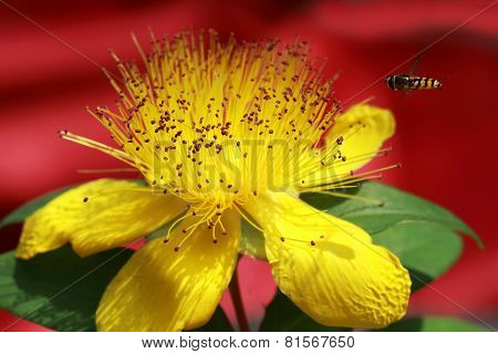 Yellow Hypericum beanii flower