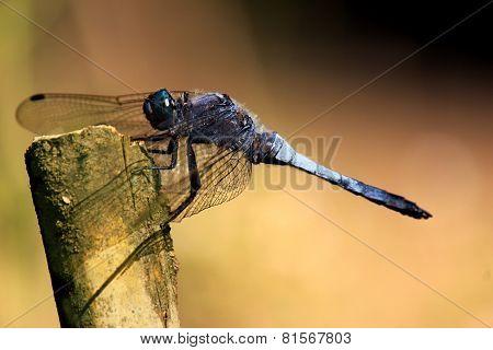 Slaty Blue Skimmer Libellula Incesta