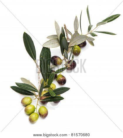 Raw  Olives On A Twig