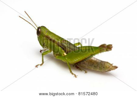 Grasshopper in fron