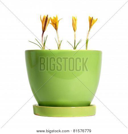 Yellow Saffrones