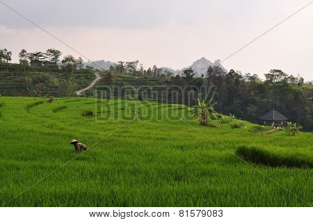 Farmer in stepped rice terraces, Java, Indonesia