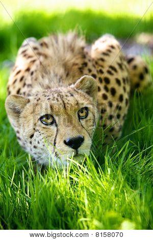 Cheetah lying in grass