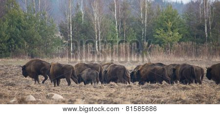 European Bison Herd In Winter