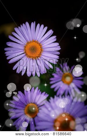 Beautiful Blooming Purple Daisy With Drops
