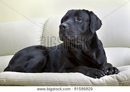 Image Dog Breed Black Labrador