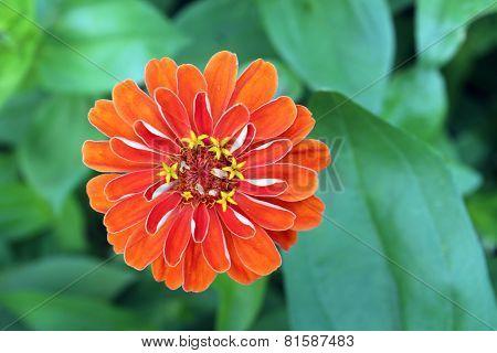 Orange Zinnia