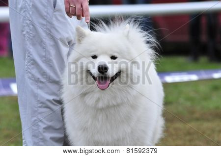 Samoyed dog. The Samoyed is a breed of dog that takes its name from the Samoyedic peoples of Siberia