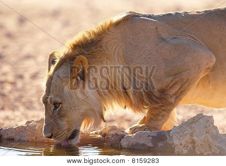 Single Lioness (panthera Leo)