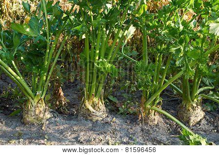 Root Celery Growing