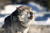 pic of wolf-dog  - An old howling wolf male in the forest - JPG