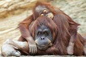 foto of orangutan  - A young orangutan is sleeping on its mother - JPG