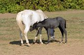 foto of pastures  - Breastfeeding colt in summertime pasture Foal with a mare on a summer pasture - JPG