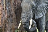 foto of saharan  - African elephant in the Tarangire National Park Tanzania - JPG