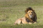 stock photo of female buffalo  - Portrait of Lion in Masai Mara Kenya  - JPG