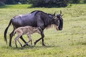 stock photo of calves  - A Wildebeest mother and newly born calf Ngorongoro Crater Tanzania.