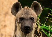 image of hyenas  - The spotted hyena in a wild nature - JPG