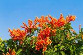 stock photo of trumpet flower  - Pyrostegia venusta or Orange trumpet flowers and blue sky background - JPG