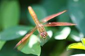 stock photo of dragonflies  - A skimmer dragonfly  - JPG