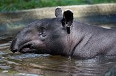 pic of tapir  - Malayan tapir swimming - JPG